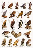 british birds of prey identification - group picture, image by tag ...