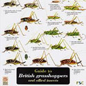 Laminated Guide to British Grasshoppers