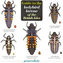 Laminated Guide to Ladybird Larvae