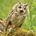 Long eared Owl Greetings Card