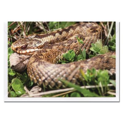Adder Snake Blank Photographic Greetings Card A6