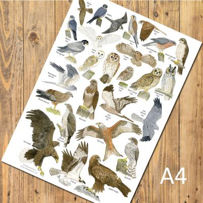 British Birds of Prey and Owls A4 Identification Poster