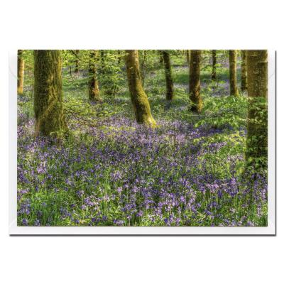Bluebell Wood Blank Photographic Greetings Card A6