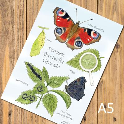 Peacock Butterfly Lifecycle Chart A5 Postcard