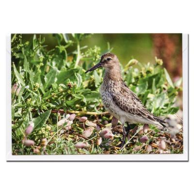 Dunlin Wader Blank Photographic Greetings Card A6