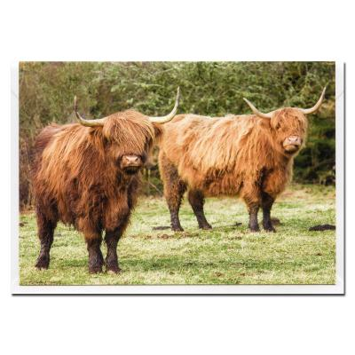 Highland Cattle Blank Photographic Greetings Card A6
