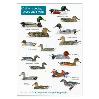 Fold out Laminated Guide to Ducks Geese and Swans