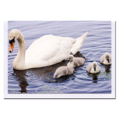 Mute Swan and Cygnets Blank Photographic Greetings Card A6