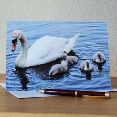 Mute Swan and Cygnets Blank Photographic Greetings Card