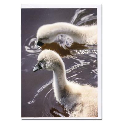 Mute Swan Cygets Blank Photographic Greetings Card A6