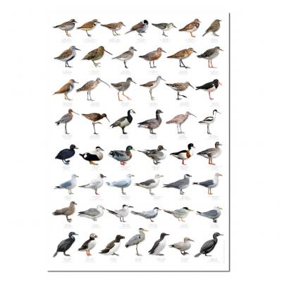 Shore and Estuary Birds Poster