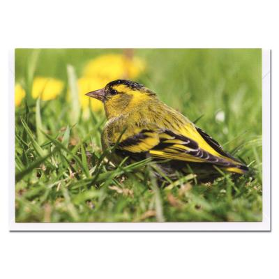Siskin Blank Photographic Greetings Card A6