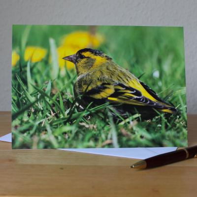Siskin Bird Large A5 Blank Photographic Greetings Card