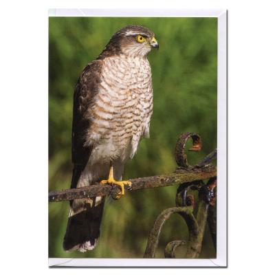 Sparrowhawk Bird of Prey Blank Photographic Greetings Card A6