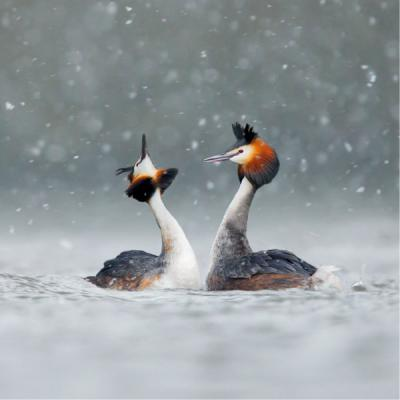 Wildlife Trusts Great Crested Grebes Charity Christmas Cards