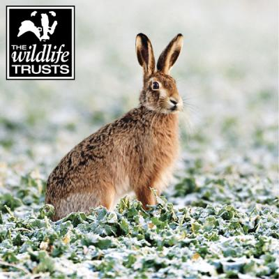 Wildlife Trusts Hare Pack of Christmas Cards