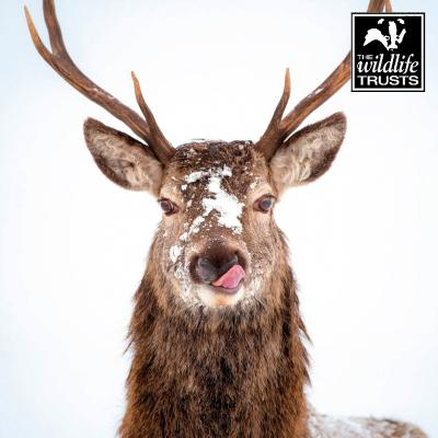 Wildlife Trusts Red Deer Stag Pack of Christmas Cards