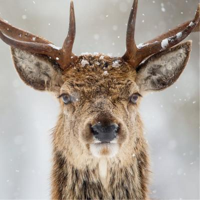 Wildlife Trusts Red Deer Stag Charity Christmas Cards Large