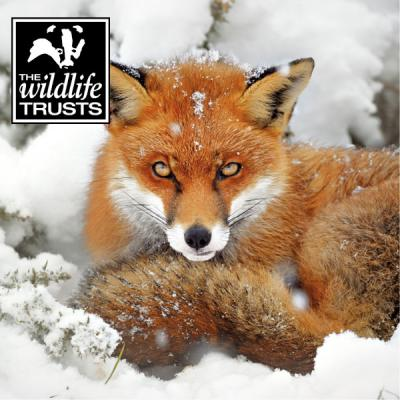 Wildlife Trusts Red Fox Charity Christmas Cards Large