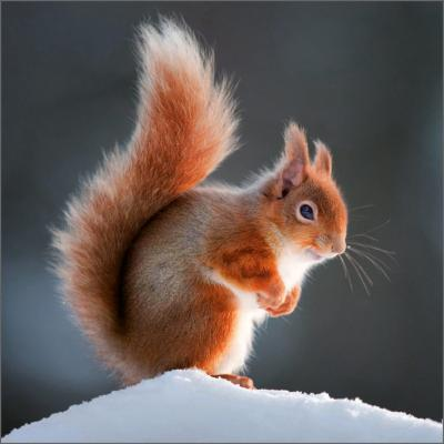 Wildlife Trusts Red Squirrel Pack of Christmas Cards