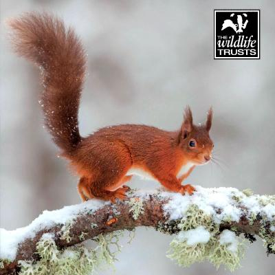 Wildlife Trusts Red Squirrel Charity Christmas Cards