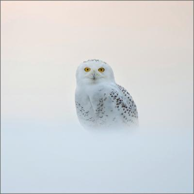 Wildlife Trusts Snowy Owl Charity Christmas Cards