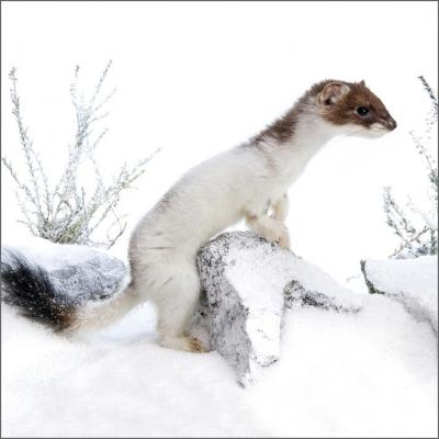 Wildlife Trusts Stoat Pack of Christmas Cards