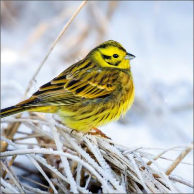 Wildlife Trusts Yellowhammer Charity Christmas Cards