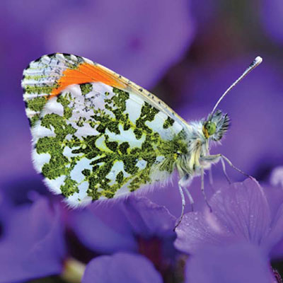 Orange Tip Butterfly Photographic Blank Greetings Card