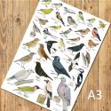Garden Birds Identification A3 Poster