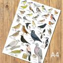 Garden Birds Identification A4 Poster