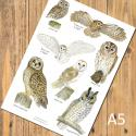 Owls Identification A5 Postcard