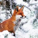 WT Red Fox Christmas Cards L